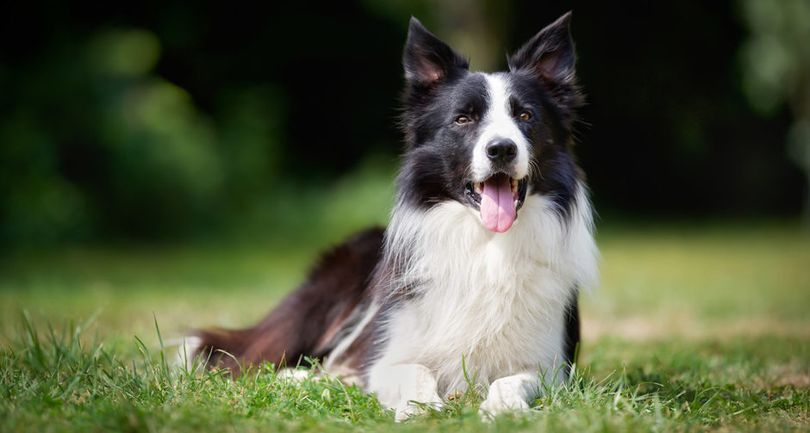 Primary image of Border Collie dog breed