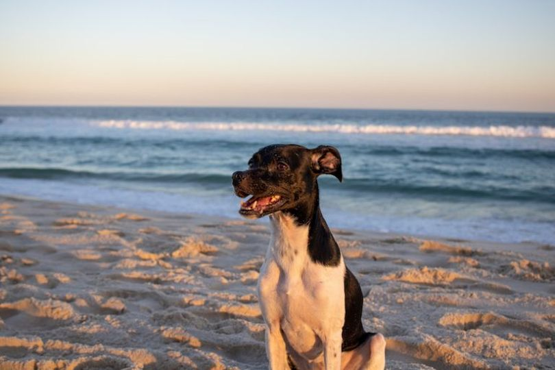 Primary image of Brazilian Terrier dog breed
