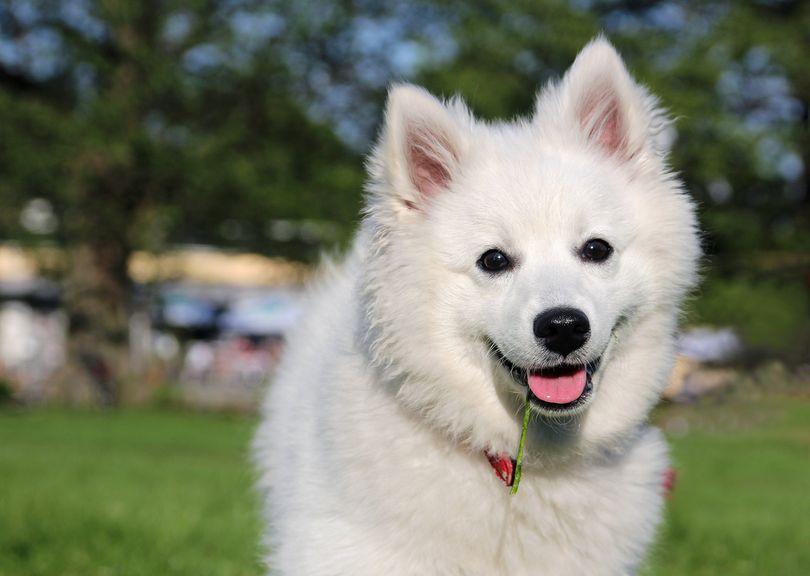 Primary image of American Eskimo Dog dog breed