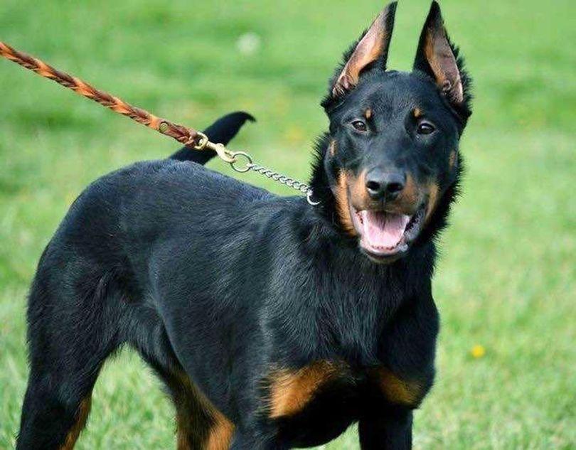 Primary image of Beauceron dog breed