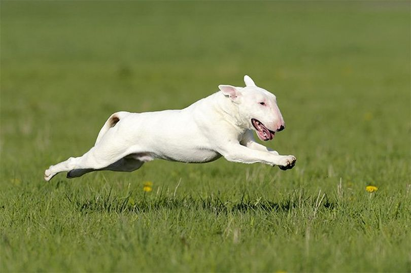Primary image of Bull Terrier dog breed