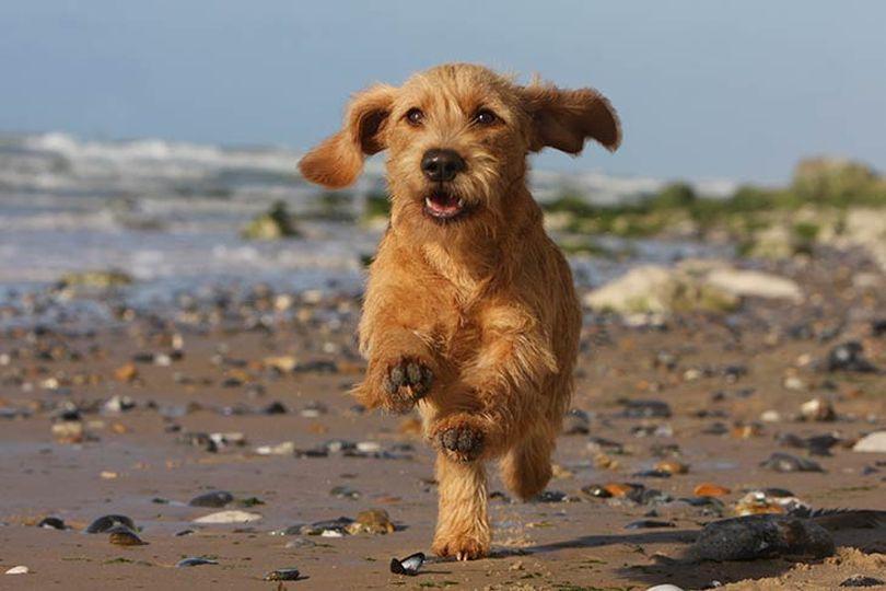 Primary image of Basset Fauve De Bretagne dog breed