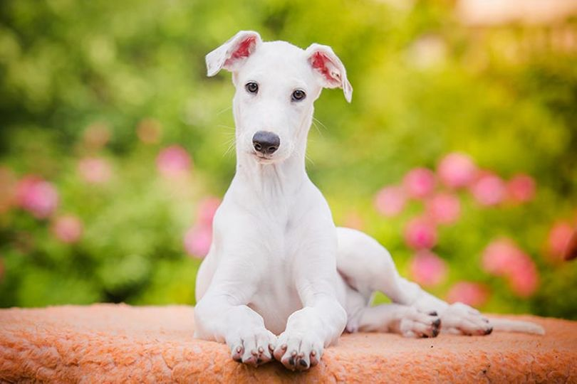 Primary image of Greyhound dog breed