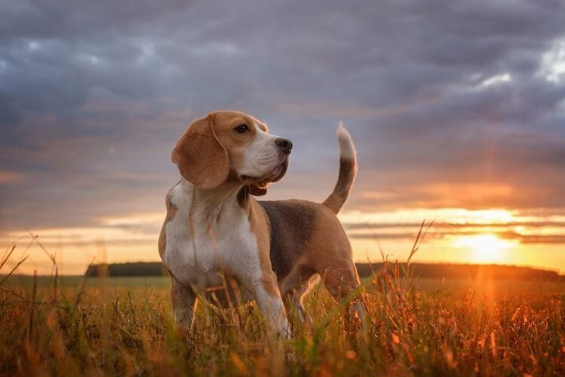Primary image of Beagle-Harrier dog breed