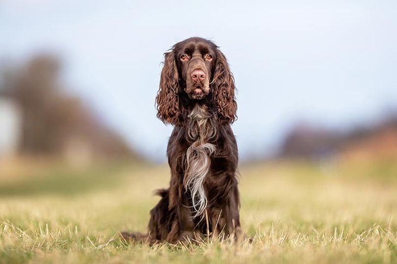 Primary image of Field Spaniel dog breed