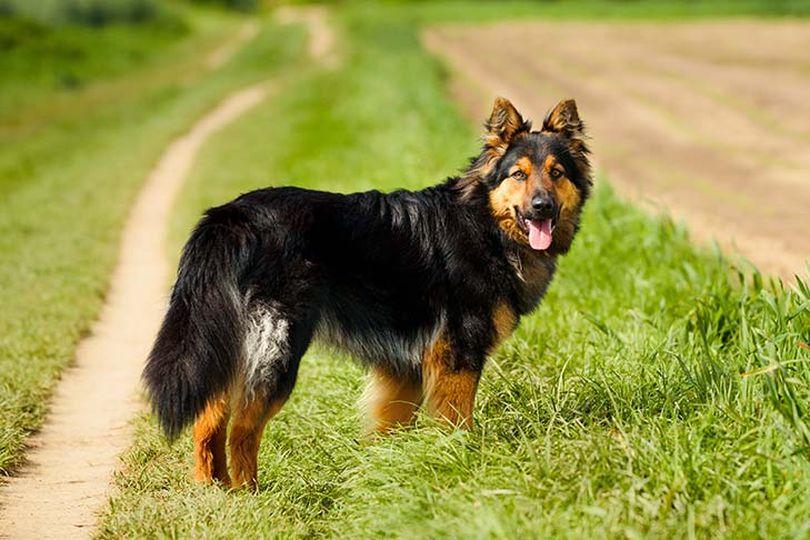 Primary image of Bohemian Shepherd dog breed