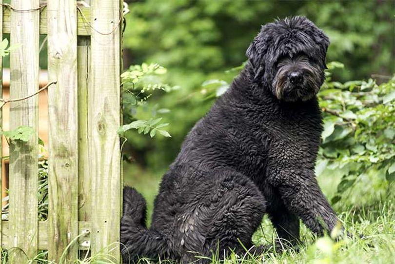 Primary image of Bouvier Des Flandres dog breed