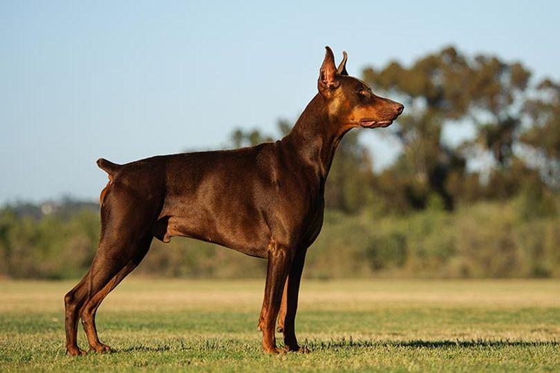 Primary image of Doberman Pinscher dog breed