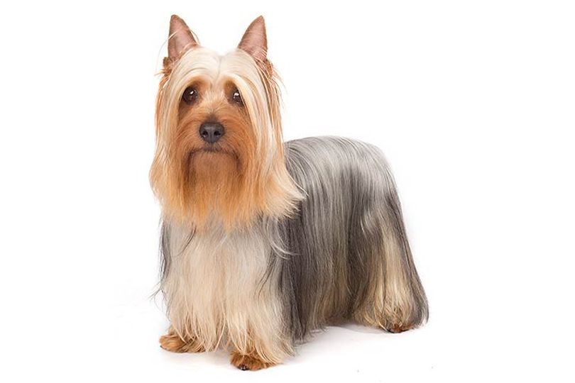 Primary image of Australian Silky Terrier dog breed