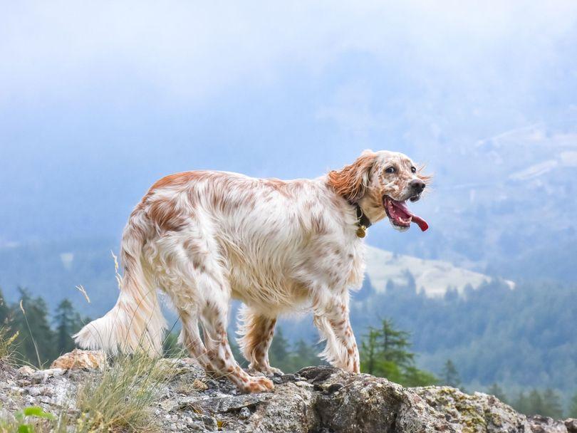 Primary image of English Setter dog breed