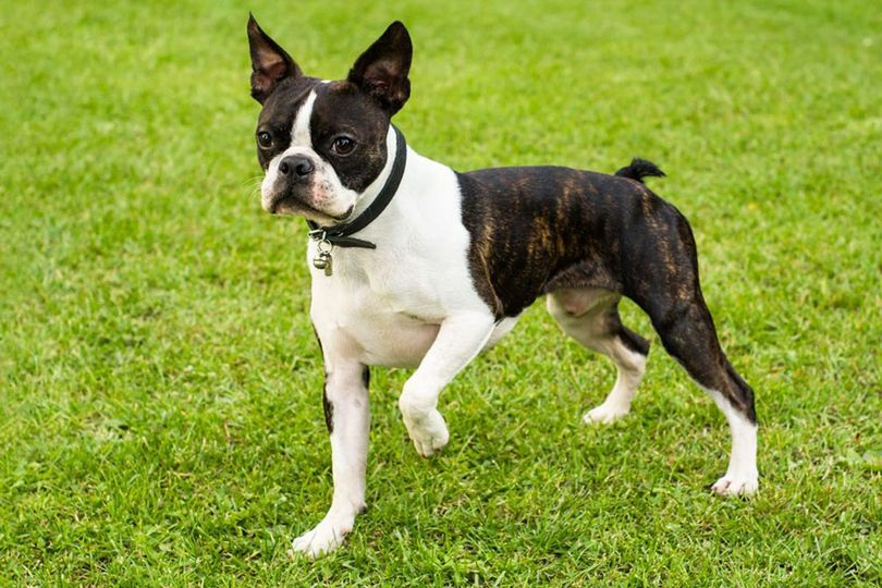 Primary image of Boston Terrier dog breed