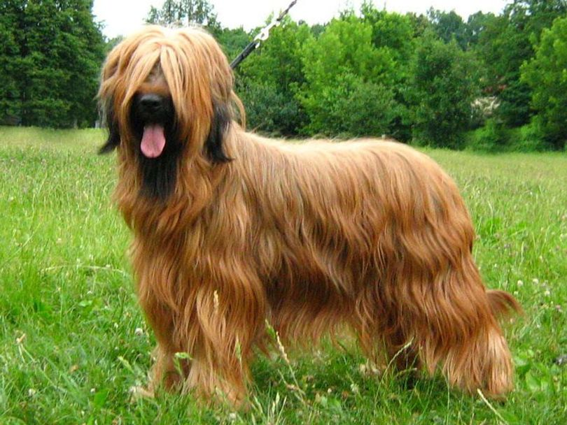 Primary image of Briard dog breed