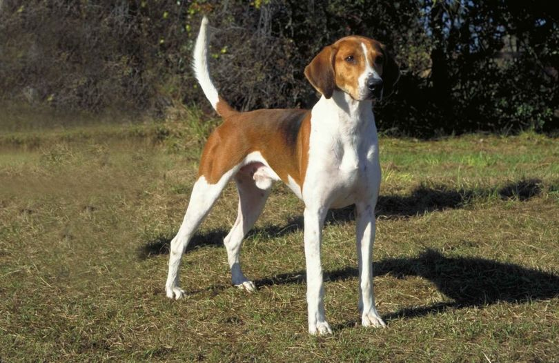 Primary image of American Foxhound dog breed