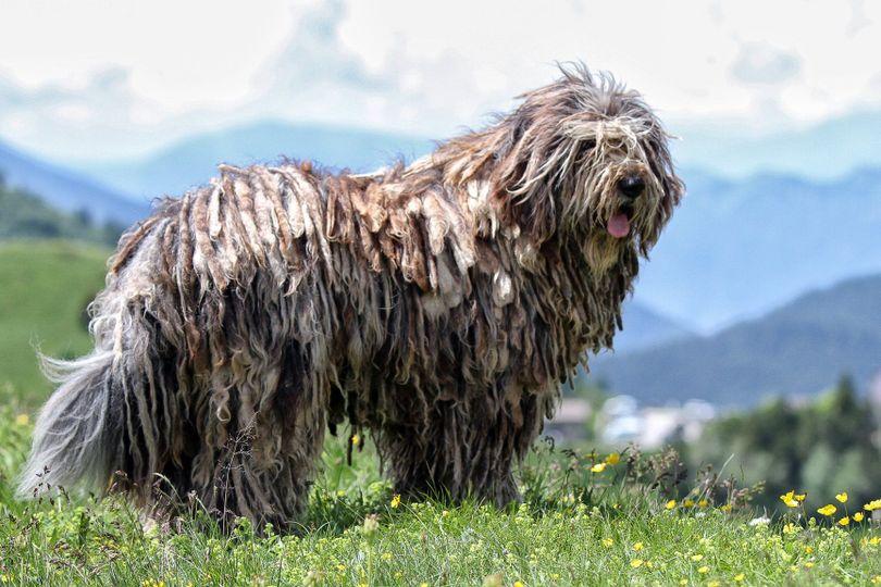 Primary image of Bergamasco Shepherd dog breed
