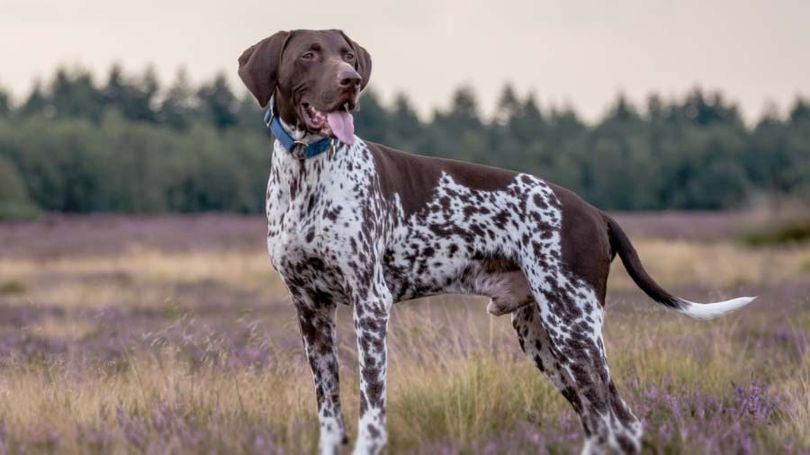 Primary image of German Shorthaired Pointer dog breed