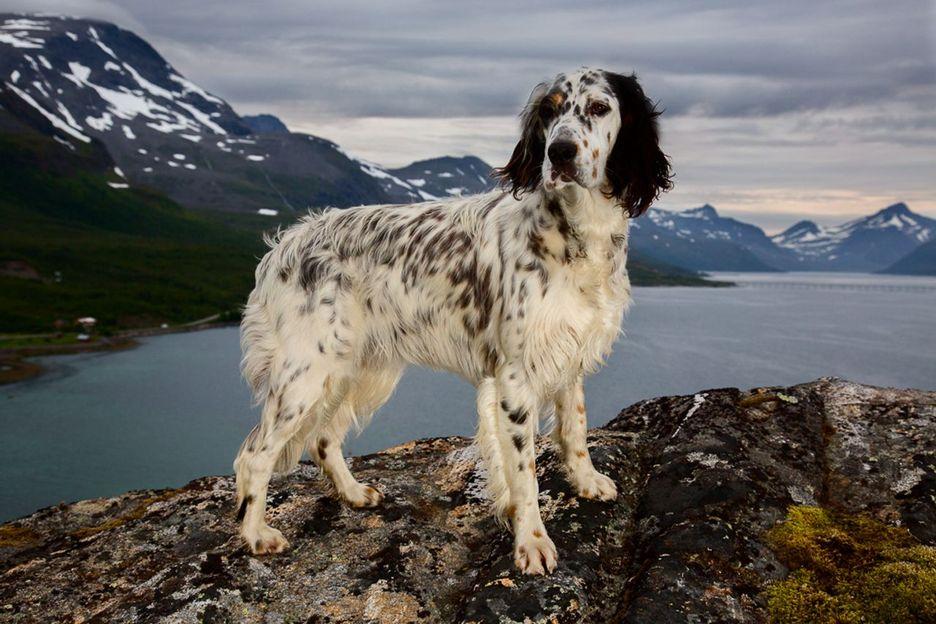 Secondary image of English Setter dog breed