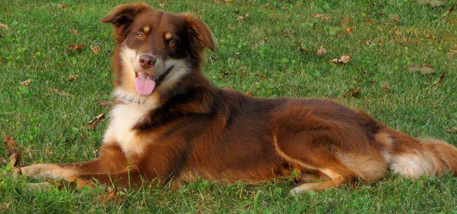 Secondary image of English Shepherd dog breed
