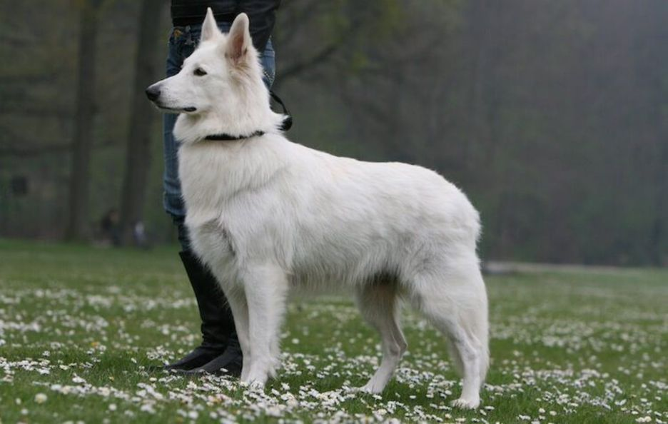 Secondary image of Berger Blanc Suisse dog breed