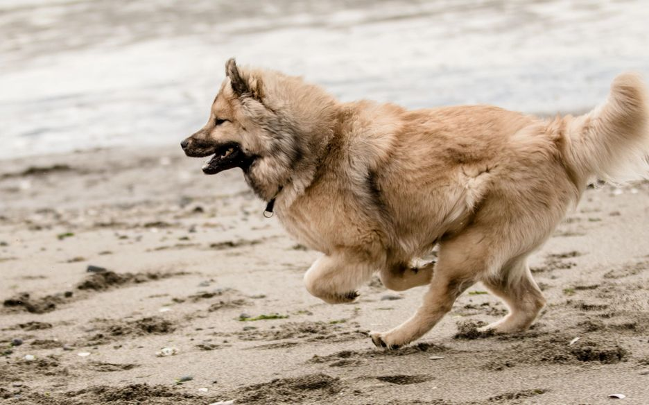 Secondary image of Eurasier dog breed