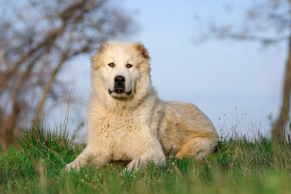Secondary image of Central Asian Shepherd Dog dog breed