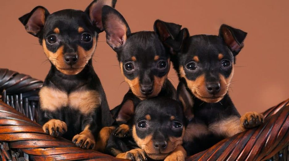 Secondary image of Miniature Pinscher dog breed