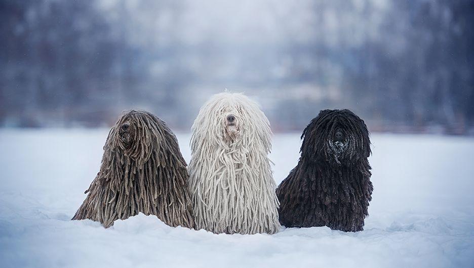 Secondary image of Puli dog breed