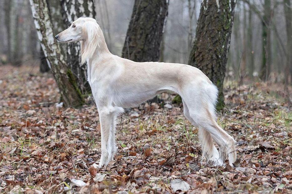 Secondary image of Saluki dog breed