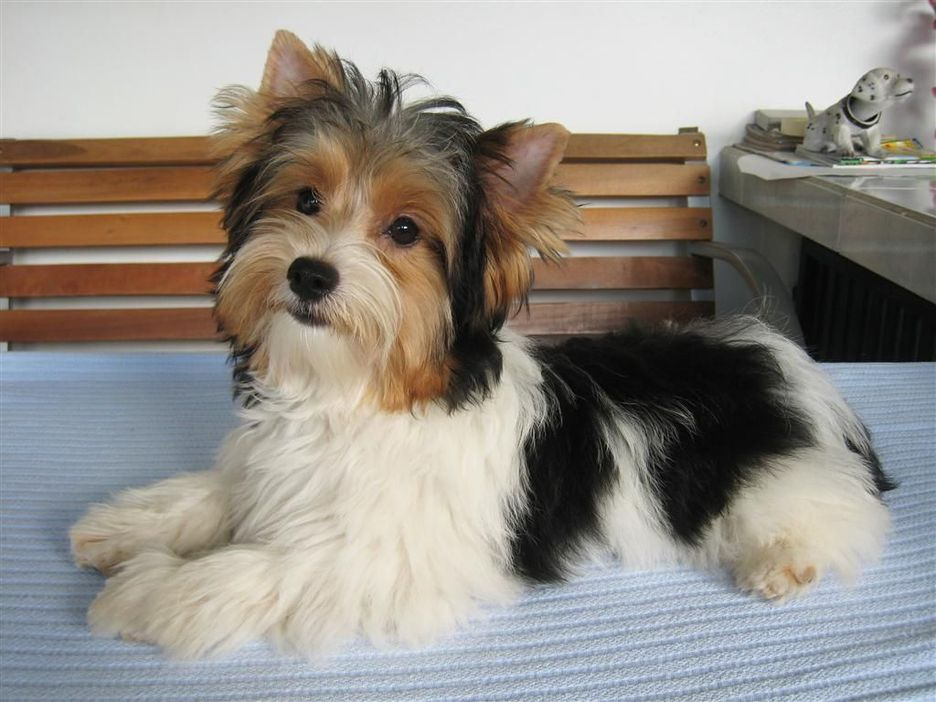 Secondary image of Biewer Terrier dog breed