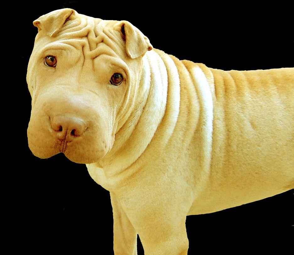 Secondary image of Chinese Shar-Pei dog breed