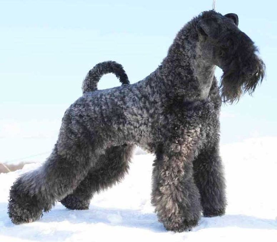 Secondary image of Kerry Blue Terrier dog breed