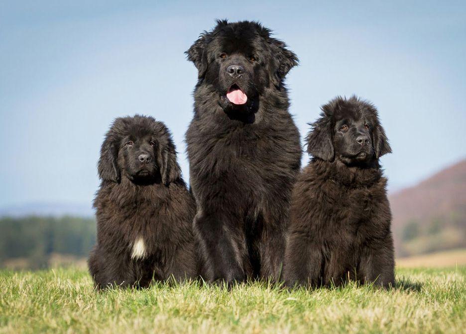 Secondary image of Newfoundland dog breed