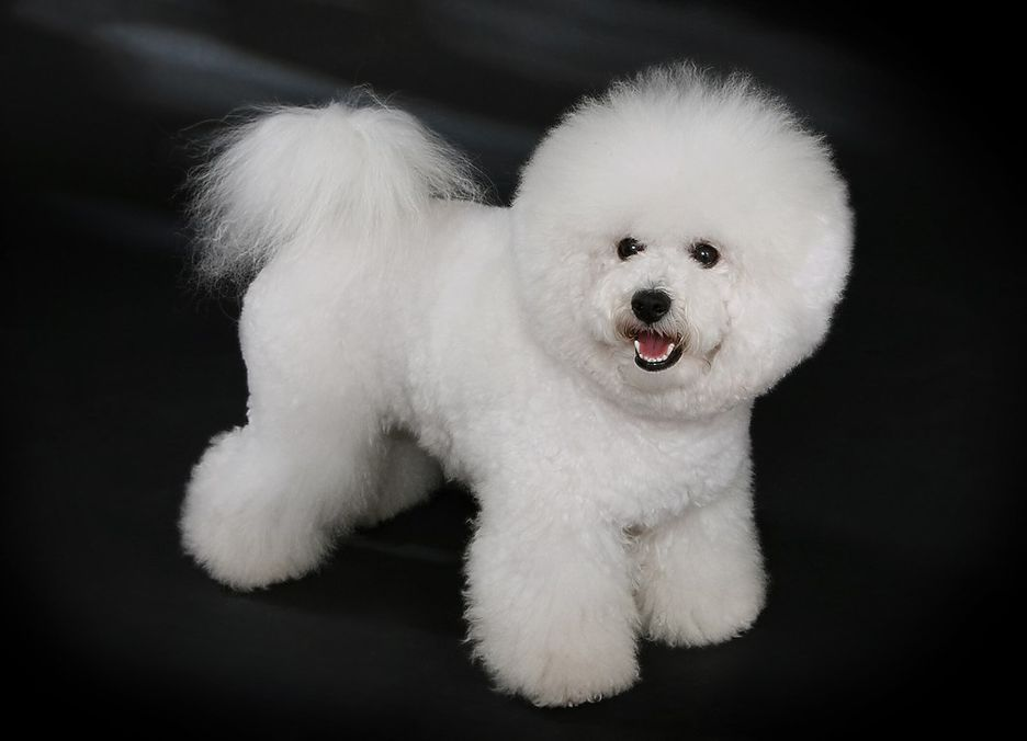Secondary image of Bichon Frise dog breed