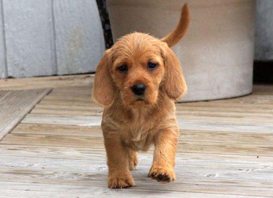 Secondary image of Basset Fauve De Bretagne dog breed
