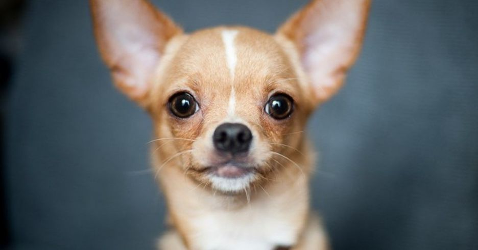 Secondary image of Chihuahua dog breed