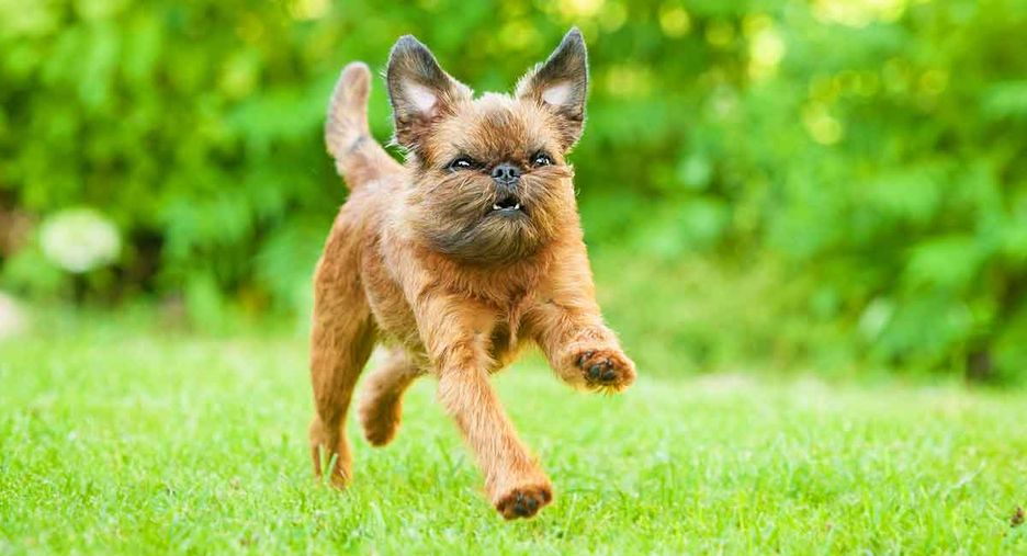 Secondary image of Brussels Griffon dog breed