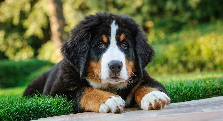 Secondary image of Bernese Mountain Dog dog breed