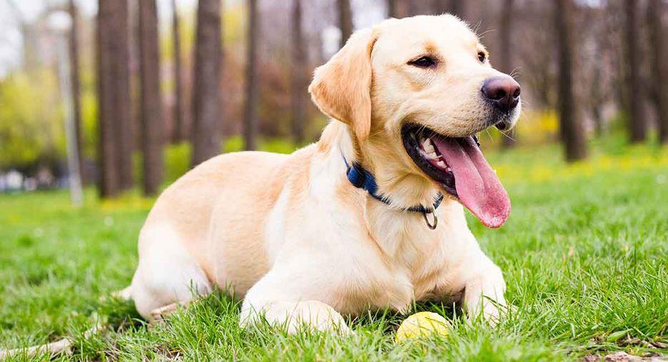 Secondary image of Labrador Retriever dog breed