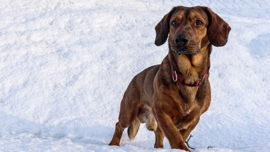 Secondary image of Alpine Dachsbracke dog breed