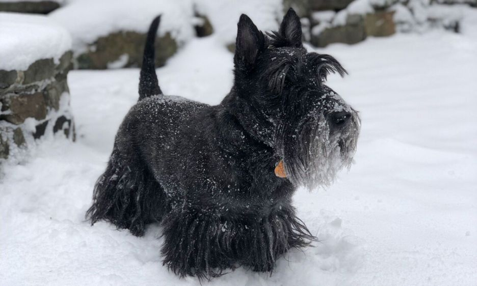 Secondary image of Scottish Terrier dog breed