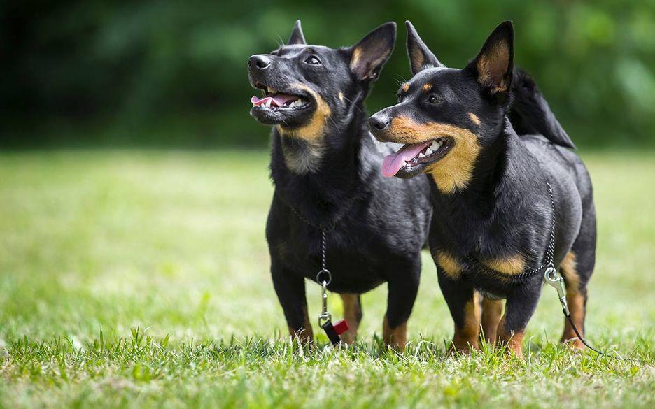 Secondary image of Lancashire Heeler dog breed