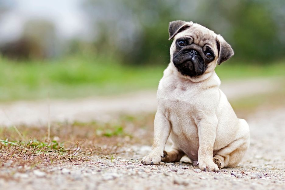 Secondary image of Pug dog breed