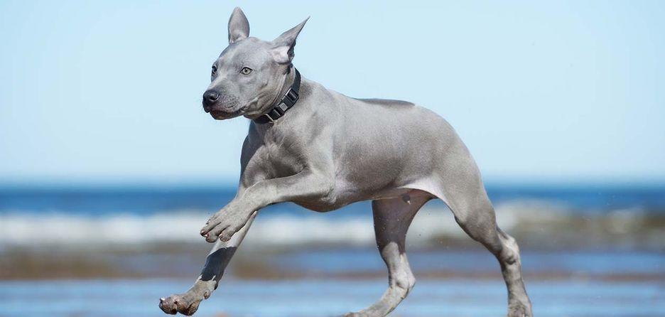 Secondary image of Thai Ridgeback dog breed