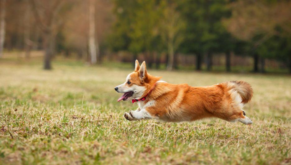 Secondary image of Pembroke Welsh Corgi dog breed