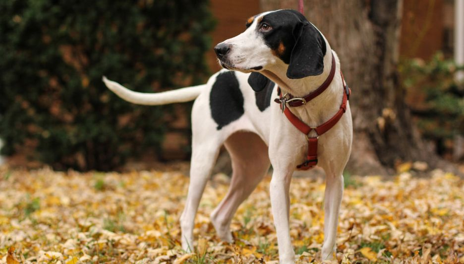 Secondary image of Treeing Walker Coonhound dog breed
