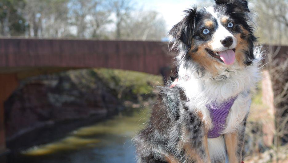 Secondary image of Miniature American Shepherd dog breed