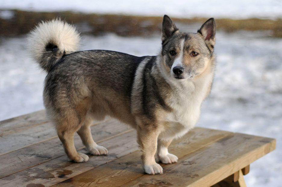 Secondary image of Swedish Vallhund dog breed
