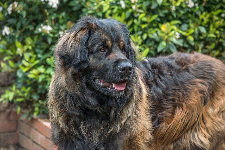 Secondary image of Leonberger dog breed