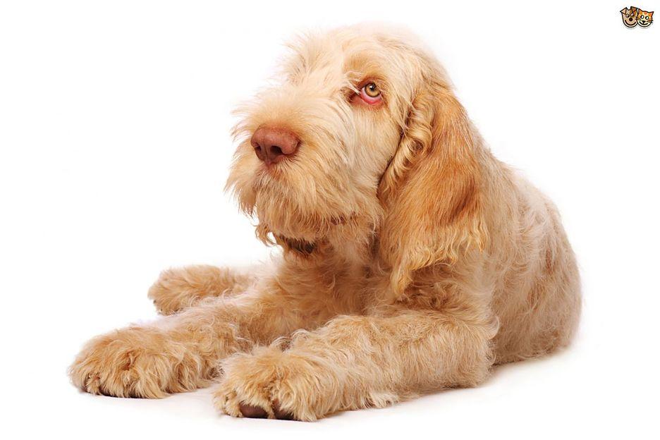 Secondary image of Spinone Italiano dog breed