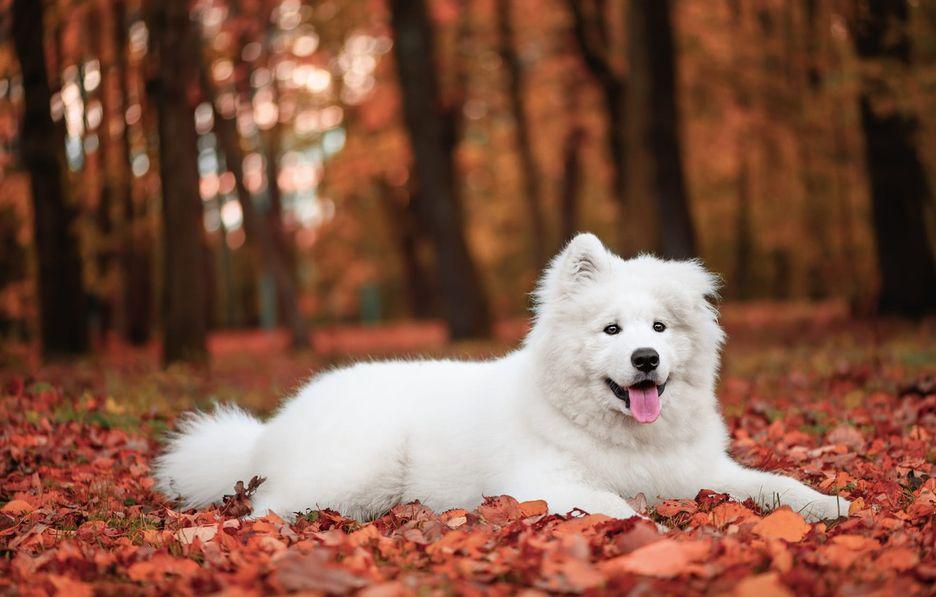 Secondary image of Samoyed dog breed