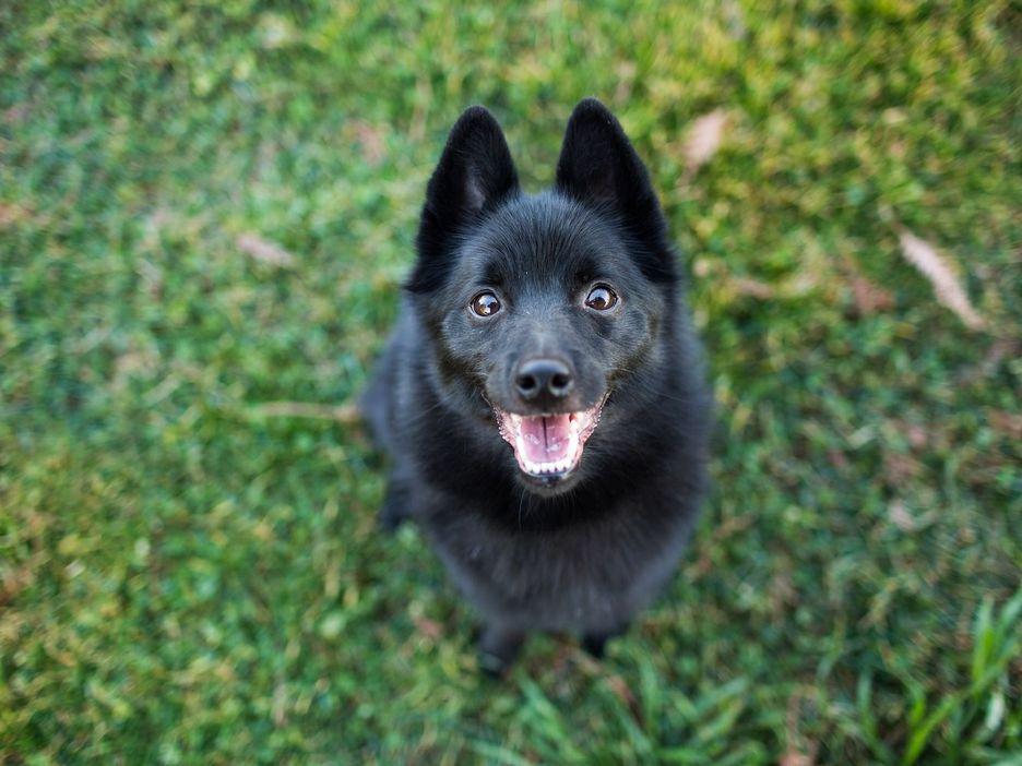 Secondary image of Schipperke dog breed